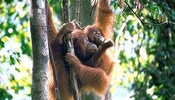 Sumatra: 9-Day Wild Orangutan and